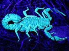 Почему светится скорпион в ультрафиолете