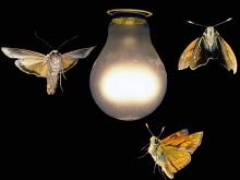 Привлечение насекомых